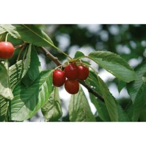 Prunus 'Gårdebo'